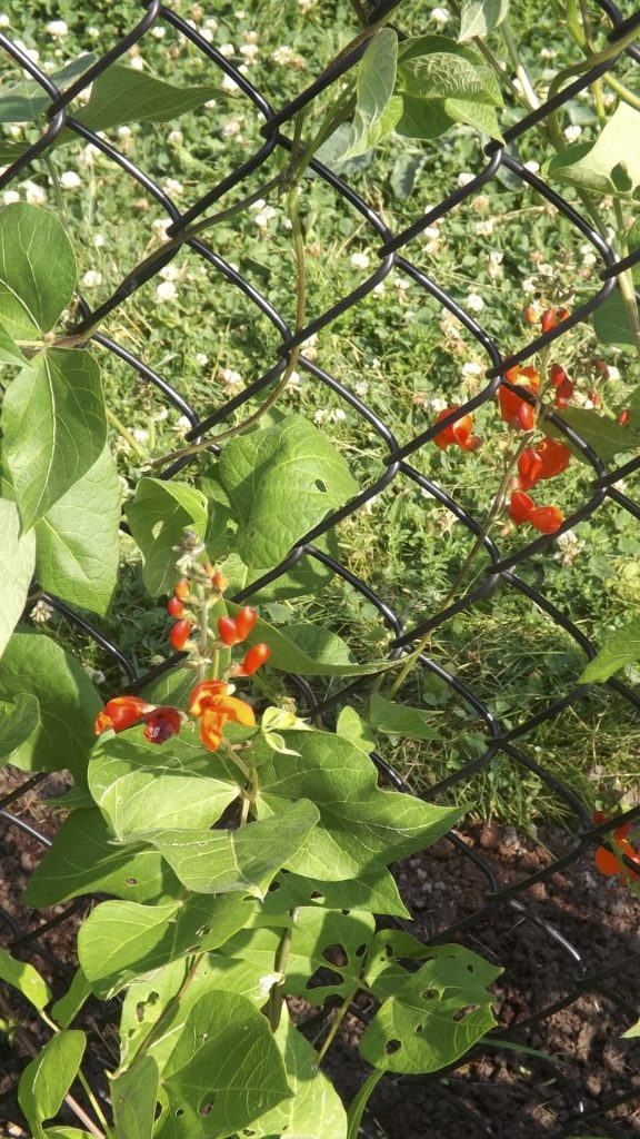 Scarlet Runner beans climbing the fence, blooming.