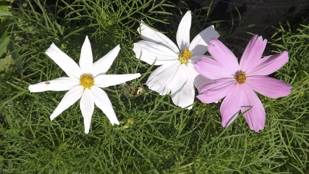 Two white blooms and one mauve bloom, Cosmos.