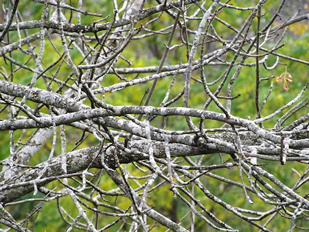 DSCF3634 branches ash