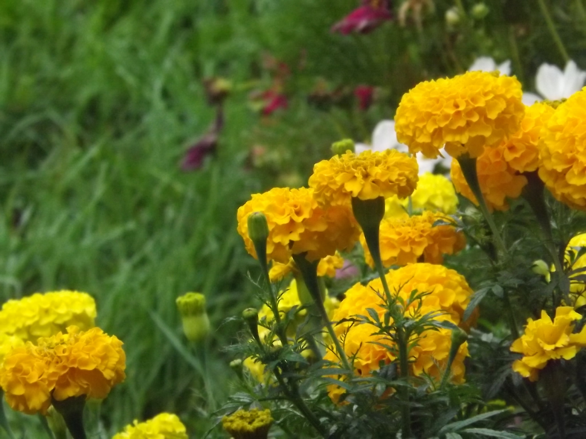 Giant Marigolds, yellow, and Cosmos, White
