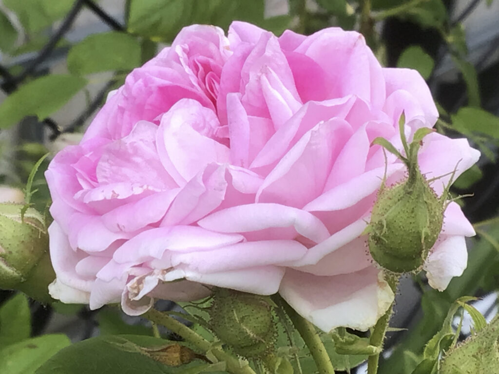 pink and white Granny's Rose