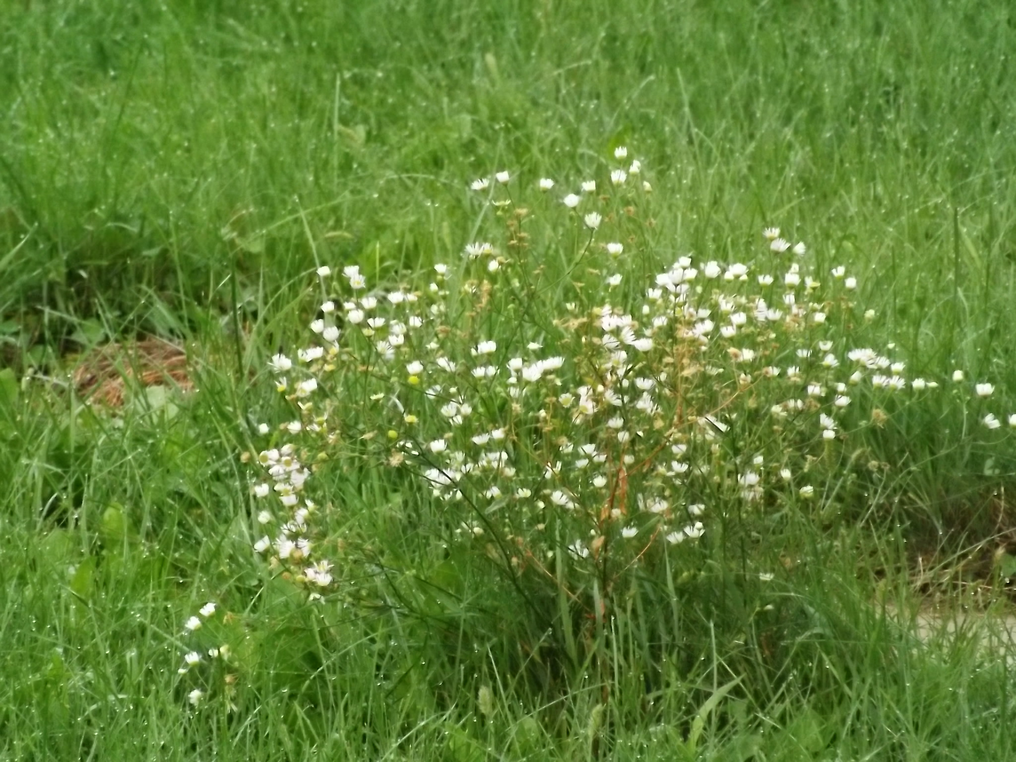 clump of wild flowers, small white flowers, left standing as the lawn was mowed around them