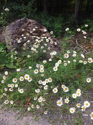 Rideau daisy