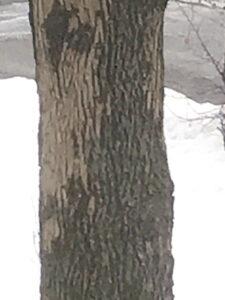 Ash tree with damaged bark.