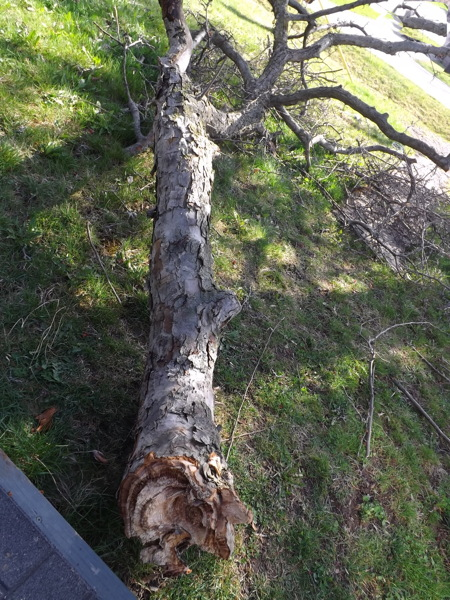 Crabapple branch down