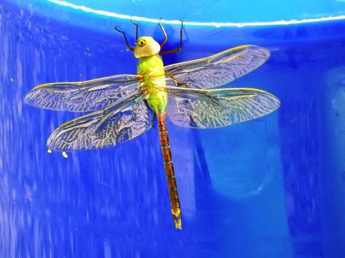 Dragonfly DSCF0960