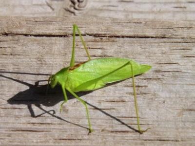 Grasshopper DSCF1104