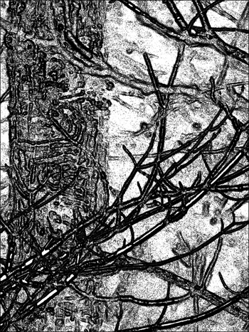 Maple tree DSCF4672