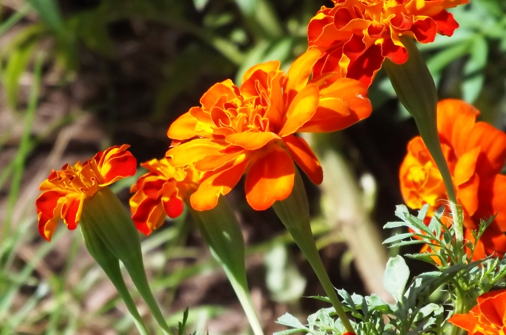 orange marigolds in the sun