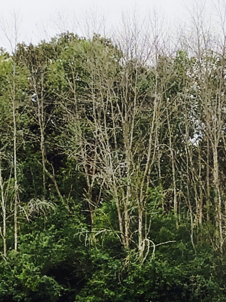 a dozen or so dead ash trees in the distance